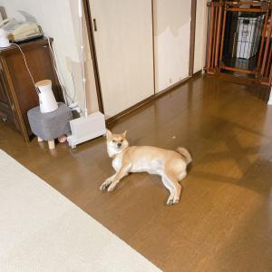 柴犬が床に落ちてる季節になってきました