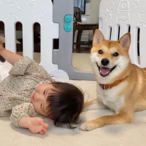 柴犬兄さんのゴロンをいつの間にか娘も習得していた話