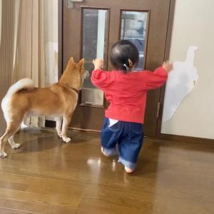 仕事帰りの父を猛ダッシュでお出迎えする柴犬と1歳娘