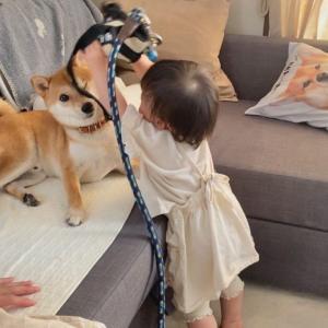 一丁前に柴犬兄さんを散歩に誘う娘