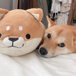 我が家で一番快適な暮らしをしているのは柴犬さんなのかもしれない