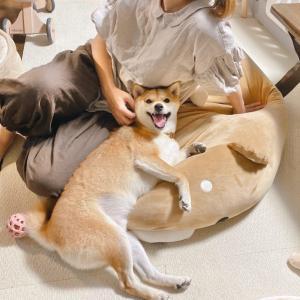 仕事から帰ってくるとママにべったりできてご満悦な表情をしてる柴犬がいた