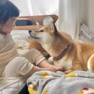 【アイリス更新第14回目】〜柴犬兄さんと娘が触れ合う朝の時間を見ながら今日も頑張ろうと思う父がいる〜