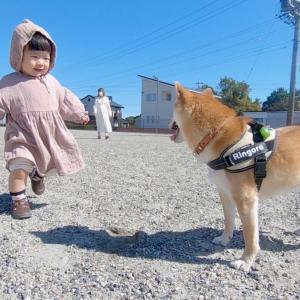 自由気ままな柴犬を「まてぇ〜い」と追いかけ続ける娘がいた