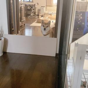 お風呂やトイレから出てくるとたまに目の前に柴犬さんが待っている