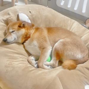 大好きなボールを抱えたまま寝てしまう柴犬が可愛かった