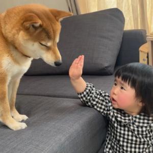 最近娘が柴犬さんの教育係になりつつある話
