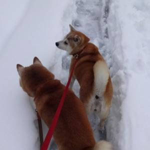 雪の中の柴犬風景