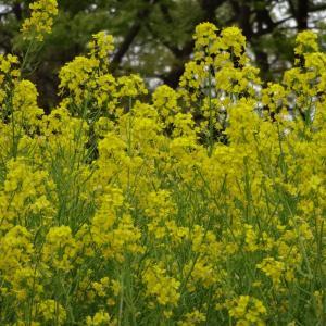 菜の花の黄色と赤柴
