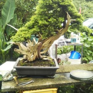 熱帯雨林の盆栽