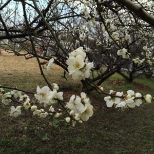 もう梅の花が咲いてましたよ~