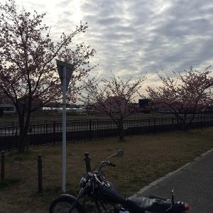 河津桜が咲き始めましたね ! ! !