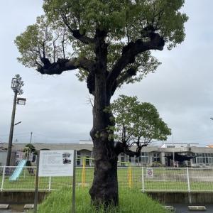 戦争も切り抜けた『豊田町のクスの木』