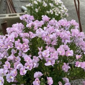 『リナリア』の花、分けてもらいました(*'∀')