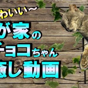 【癒し動画】我が家の可愛いチョコちゃん!!チョコにぁいだ~(動画有)