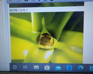 パイナップルの栽培2020 2