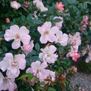 バラっぽくないバラ、開花!