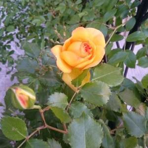 黄色のつるバラ。