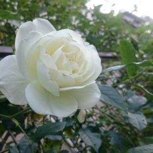 つるアイスバーグ開花。