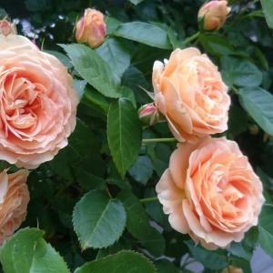 モリモリに咲くバラ!ラドルチェヴィータ。