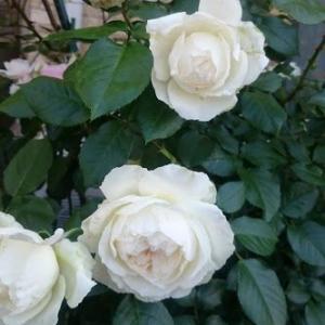 咲けば気が付く、香りのバラ。ボレロ。