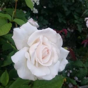 あえて漢字で書きたい。白薔薇、エレーヌジュグラリス。