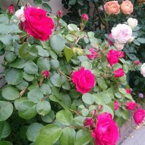 まだまだ咲くよ!レッドレオナルドダヴィンチ。