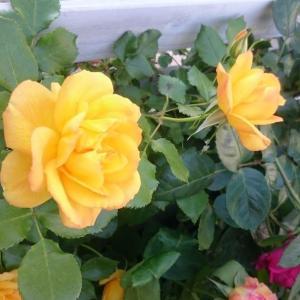 にぎやかな黄色、サハラ'98!