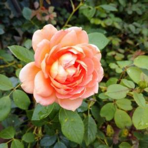 二番花咲いてます。レディオブシャーロット。