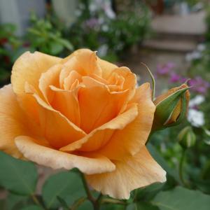 今朝のバラ~✿