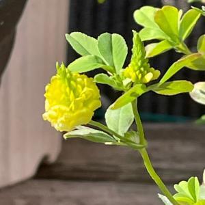 今日の庭 クスダマツメクサが咲きました!