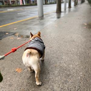 上海2468日目 春節3日目のホルモン君とのお散歩