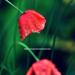 八十八夜の雨上がり、雫をのせた庭の花々