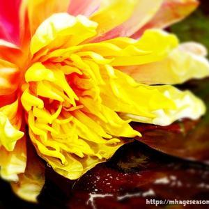 見頃をむかえた睡蓮の花でしたが...