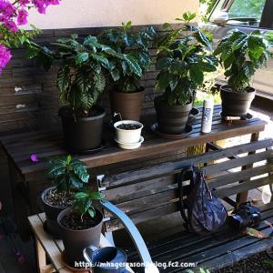 コーヒーの木の実をまた植えてみた[2回目]