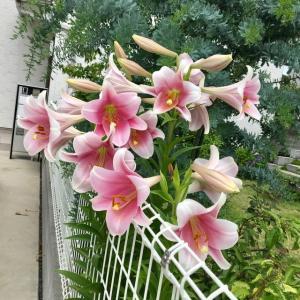 庭の植物ー2(リーガルリリー)