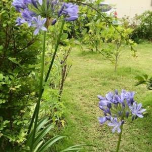 庭の植物ー4 (アガパンサス)