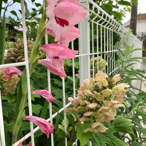 庭の植物ー5(カシワバ紫陽花&グラジオラス)