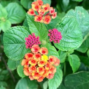 庭の植物ー6 (ランタナ)