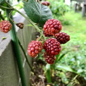 庭の植物ー8 (ラズベリー)