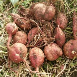 安納芋の収穫~試し掘り