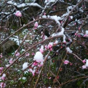 「温暖化季節外れの梅と雪」