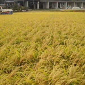 稲刈り~「さがびより」の収穫