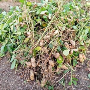 落花生~おおまさりの収穫