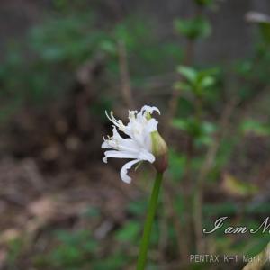 やっと咲き始めました・・・・彼岸花!