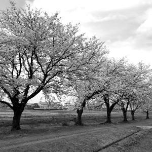 神宮寺の桜並木