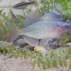 秋の飼育魚たち