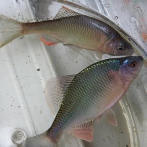 最近のお魚達