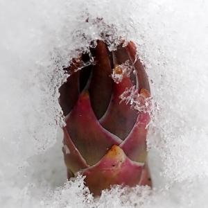 アスパラに積雪
