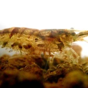 ミナミヌマエビの卵